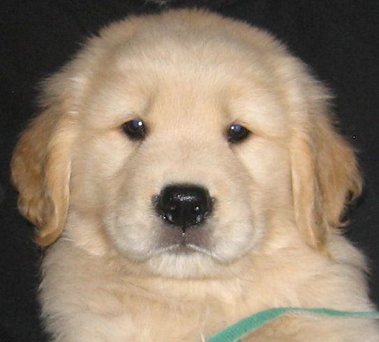 Golden Retriever Stud Service Carrollton Ga Puppies Sired By