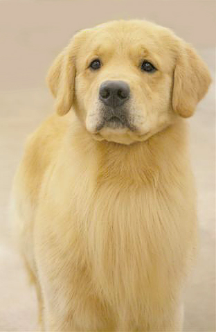 Retriever Georgia Golden Puppies For Sale