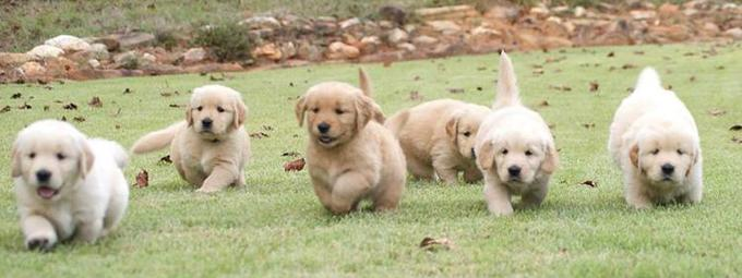 Golden Retriever Puppies Upcoming Litters At Charming Goldens